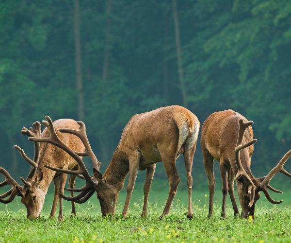 La Lozère en famille au pays des loups, des bisons, des cerfs et des vautours